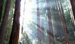Trees produce small amounts of electricity. Engineers are developing a network of sensors that run off of tree power, and could help monitor forest conditions (Coast redwoods, Muir Woods, California/Wikimedia)