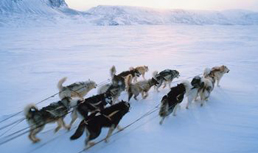 Sled dogs do not get tired during grueling multi-day races. The search is on to discover why. (Jupiter Images)