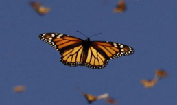 Monarch butterflies use structures inside their antennae to navigate thousands of miles to Mexico. (Dennis Curtin)