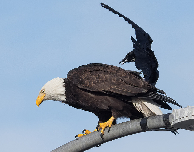 Ingrid Taylor flickr crow mobs bald eagle in Seattle CC BY-NC 2.0