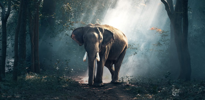 Elephants are surprisingly resistant to cancer. (Pixabay)